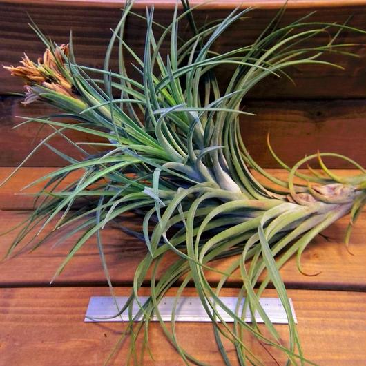 チランジア / ベルティナ × エクセルタ (T.velutina × T.exserta) ※開花親株+子株3個付き