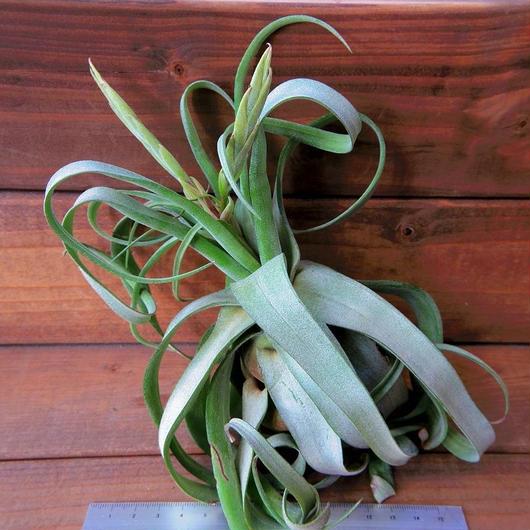 チランジア / ストレプトフィラ Lサイズ (T.streptophylla) ※蕾付き