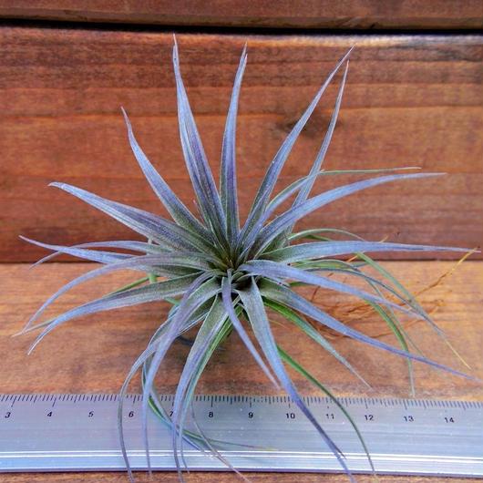 チランジア / ストリクタ スティッフパープル (T.stricta 'Stiff Purple')