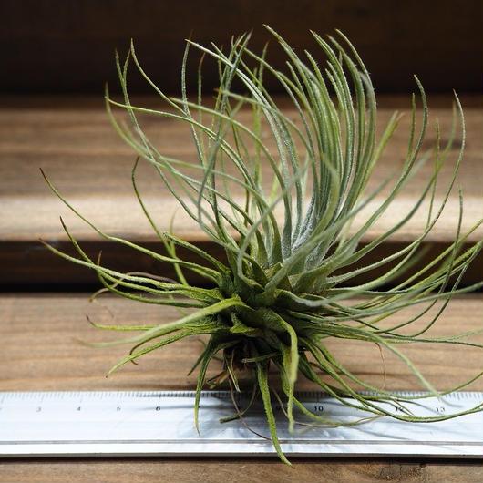 チランジア / プルモーサ (T.plumosa) No-01