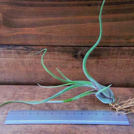 チランジア / カプトメドーサ パープル (T.caput-medusae 'Purple')