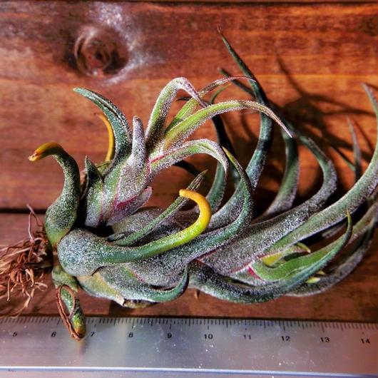 チランジア / プルイノーサ (T.pruinosa)