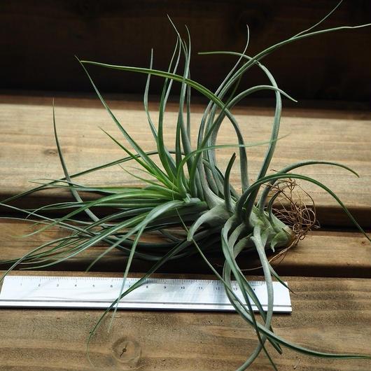 チランジア / ブラキカウロス × シーディアナ (T.brachycaulos × T.schiedeana)