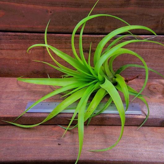 チランジア / ブラデアナ (T.bradeana)