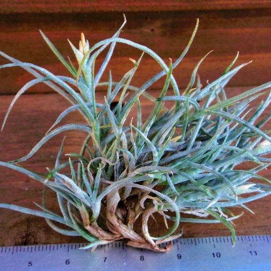 チランジア / クロカータ トリスティス (T.crocata var. tristis)