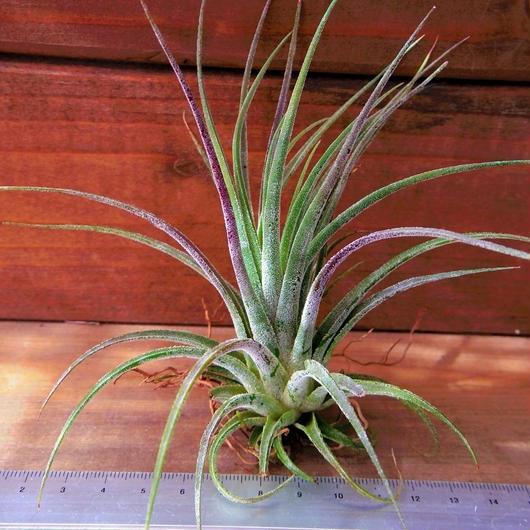 チランジア / プルイノーサ × コルビー (T.pruinosa × T.kolbii) No-01