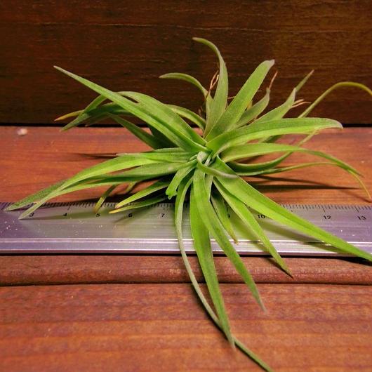 チランジア / ベルティナ Sサイズ (T.velutina)