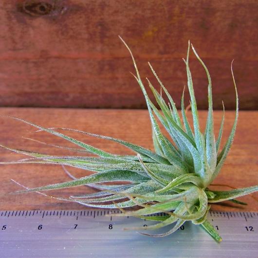 チランジア / エーレルシアナ Sサイズ (T.ehlersiana)