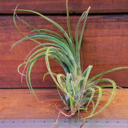 チランジア / プルイノーサ × ベルティナ (T.pruinosa × T.velutina)