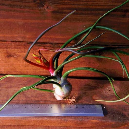 チランジア / ブルボーサ ベリーズ ※花芽付き (T.bulbosa 'Belize')