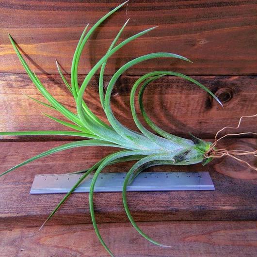チランジア / イオナンタ × パウシフォリア (T.ionantha × T.paucifolia)