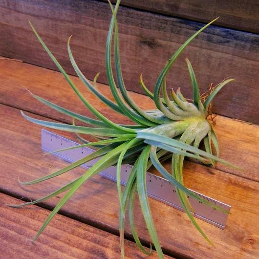 チランジア / セレリアナ × ベルティナ (T.seleriana × T.velutina)