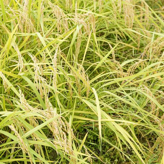 【送料無料】雲潤の里のおいしいお米(特別栽培米にこまる)5㎏