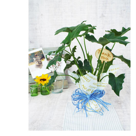 Summer gift/観葉植物【セローム】