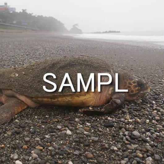 海亀(1)