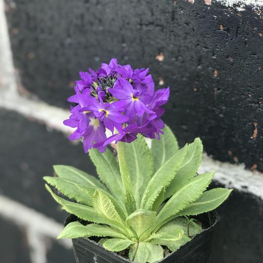 プリムラ デンティキュラータ紫