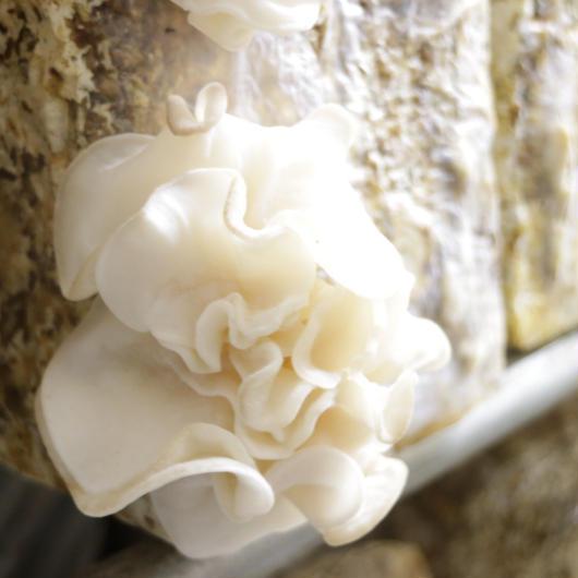 【国産希少】白い生きくらげ 150g【白 食べ方レシピ調理法つき 産地直送】