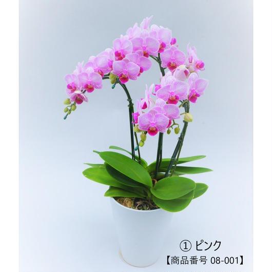 【小輪系】ミディ胡蝶蘭3本立て     =ピンク系=
