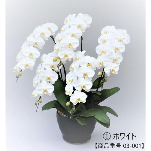 【スタンダード】大輪胡蝶蘭  5本立て   =ホワイト=