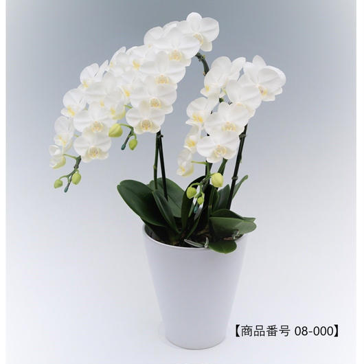 【小輪系】ミディ胡蝶蘭3本立て     =ホワイト=