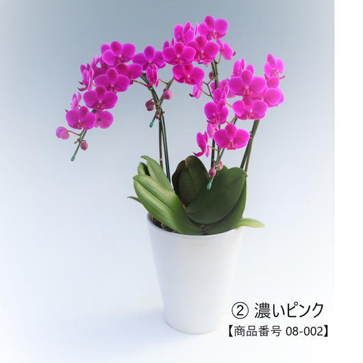 【小輪系】ミディ胡蝶蘭3本立て     =濃いピンク系=