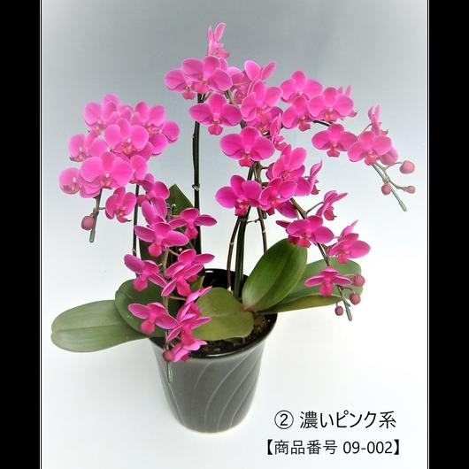 【小輪系】ミディ胡蝶蘭5本立て     =濃いピンク系=