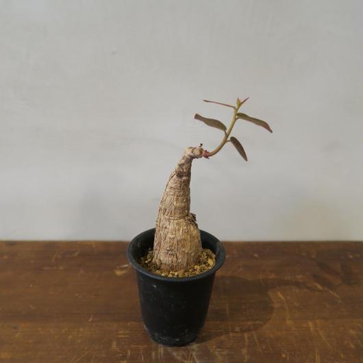 フィランサス・ミラビリス / Phyllanthus mirabilis