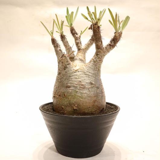 パキポディウム グラキリス no.60