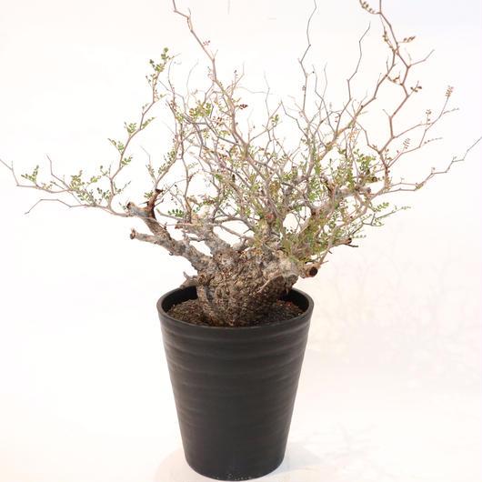 オペルクリカリア パキプス  no.5