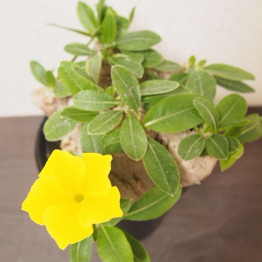 パキポディウム 恵比寿笑い  Pachypodium brevicaule