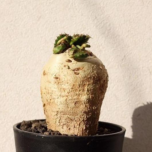 ユーフォルビア ステラータ 飛竜  Euphorbia stellata