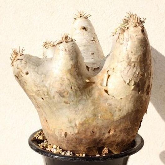 Pachypodium eburneum パキポディウム エブレネウム  no.1