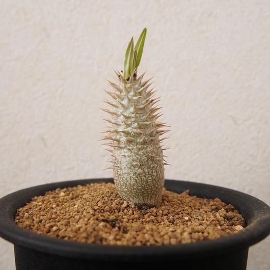 パキポディム イノピナツム Pachypodium inopinatum