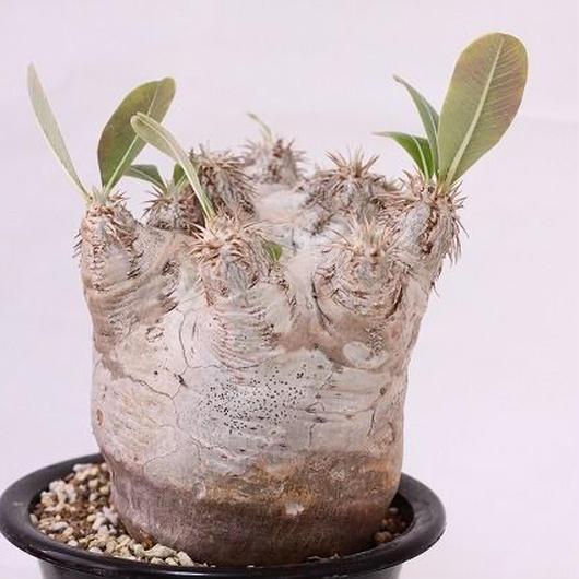 Pachypodium eburneum パキポディウム エブレネウム  no.2