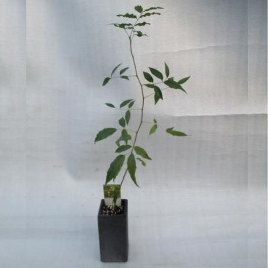 2017年産キューバンマホガニー黒信楽焼きLサイズ鉢苗