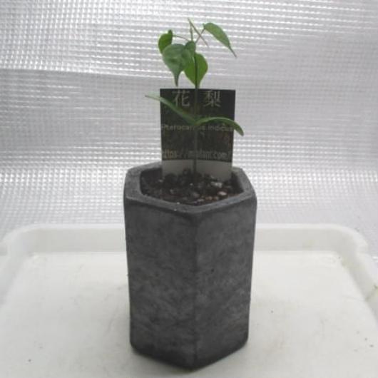 2018年産花梨黒信楽焼きMサイズ六角形鉢苗