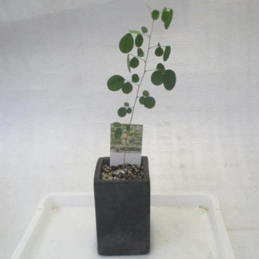 2018年産イーストインディアンローズウッド黒信楽焼き角型Mサイズ鉢苗