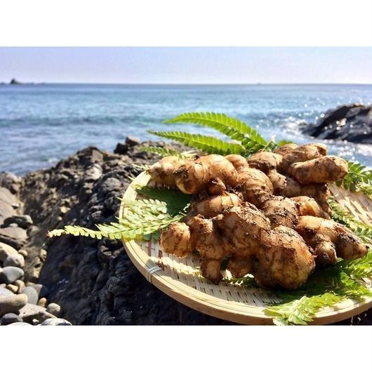 自然農法(無農薬・無化学肥料) 鰹乃國の生姜500g[潮と空農園] made in 高知県