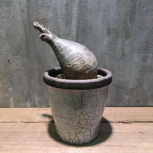 パキポディウム  グラキリス domani hanoi12 184