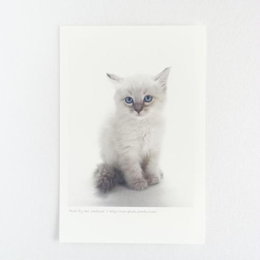 フォトカード_cat1(バーマン)