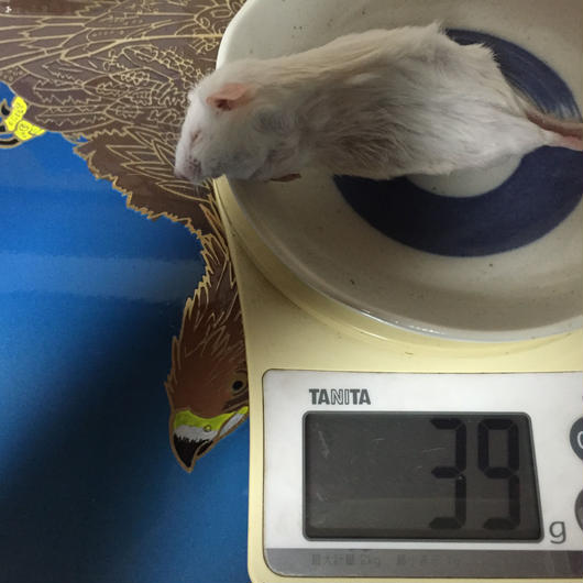 ※支払いは当団体指定口座のみ※送料かかります!!冷凍マウス35g〜39gバラ売り