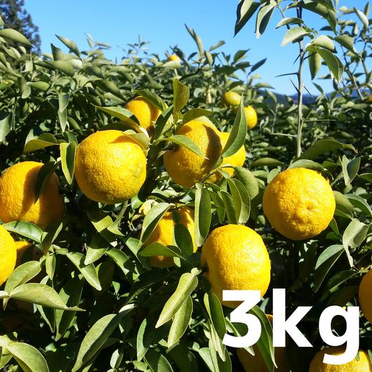 川根本柚子の完熟柚子(無農薬・無肥料) 3kg