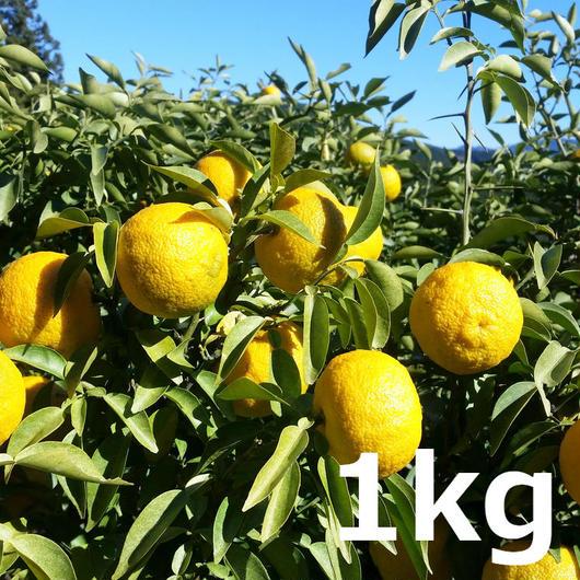 川根本柚子の完熟柚子(無農薬) 1kg
