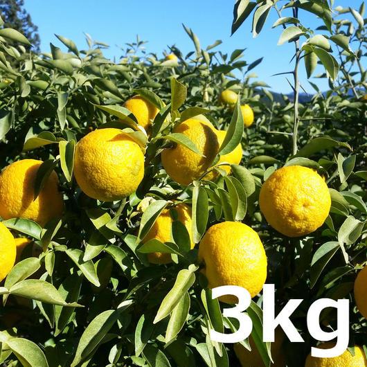 川根本柚子の完熟柚子(無農薬) 3kg