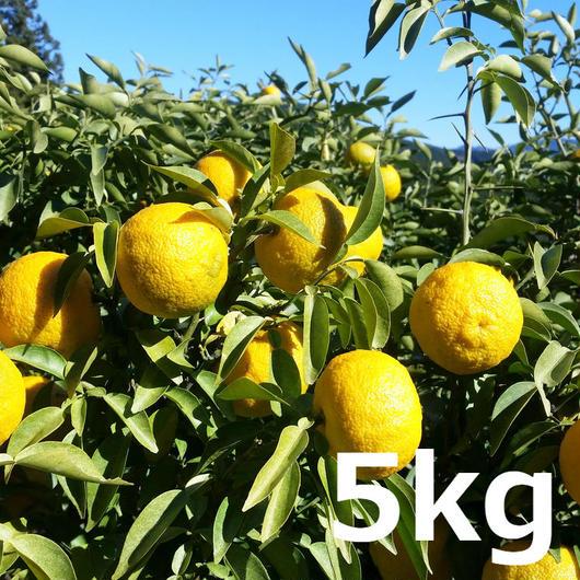 川根本柚子の完熟柚子(無農薬) 5kg
