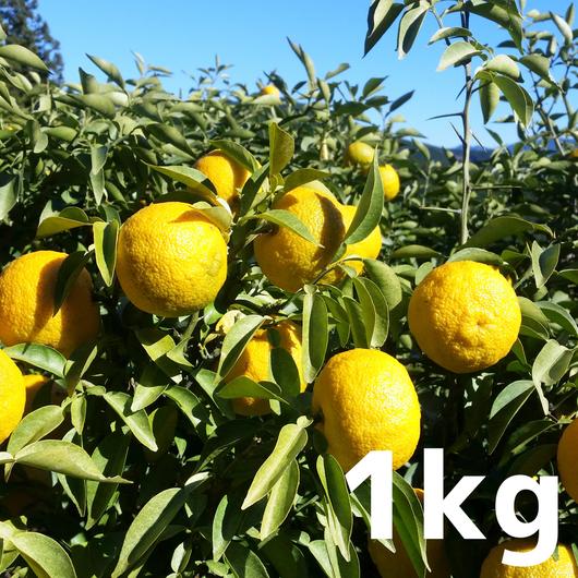 川根本柚子の完熟柚子(無農薬・無肥料) 1kg