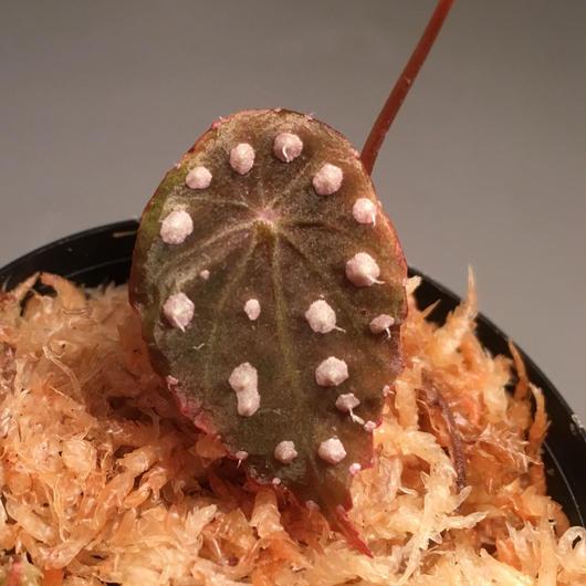 Begonia sp. from Ecuador