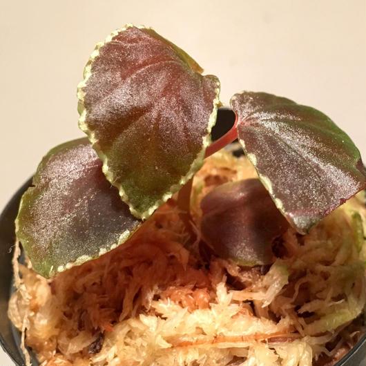 Begonia darthvaderiana from Sarawak