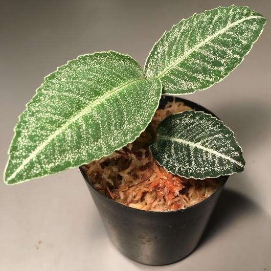 Ardisia sp. from Sumatera barat