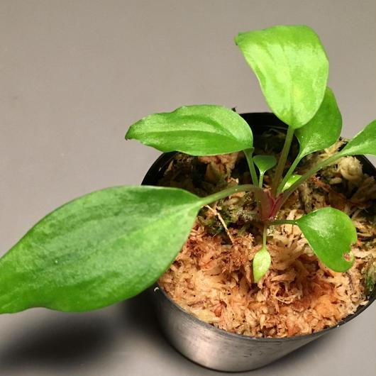 Homalomena sp. from Riau
